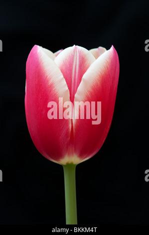 Tulip flower against black background - Stock Photo