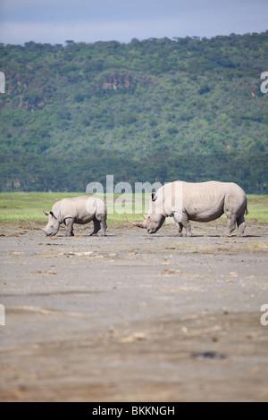 Kenya, Lake Nakuru National Park, rhino, White Rhinoceros, Ceratotherium simum - Stock Photo