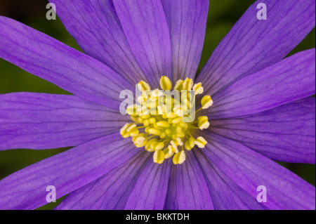 Yellow stamen with pollen on a purple flower stock photo 144695689 purple anemone flower fully open in daytime with yellow pollen on central cluster of stamen and mightylinksfo Choice Image
