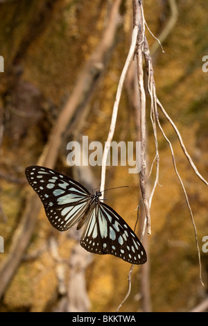 Malaysia March 2009. Jungle butterfly on Perhentian Kecil. - Stock Photo