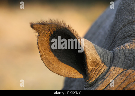 white, rhino ear, South Africa - Stock Photo
