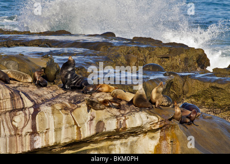 California seals resting on rocks-LaJolla, California, USA. - Stock Photo