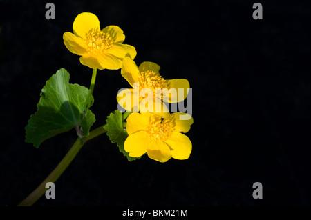 Marsh marigolds or kingcups Caltha palustris - Stock Photo