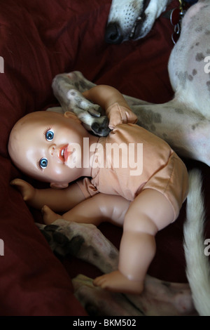 A baby doll tangled up in the legs of a sleeping dog. - Stock Photo