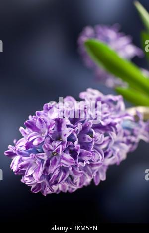 blue hyacinth flower studio shot - Stock Photo
