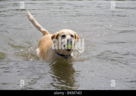 A yellow Labrador Retriever chases a tennis ball into a river to retrieve for its master - Stock Photo