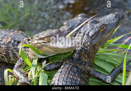 A young alligators at Okefenokee national refuge - Stock Photo