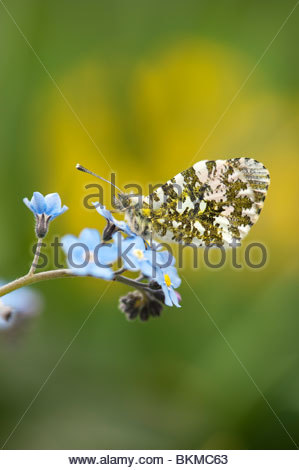 Anthocharis cardamines. Orange tip butterfly resting on 'forget me not' flowers in a garden - Stock Photo
