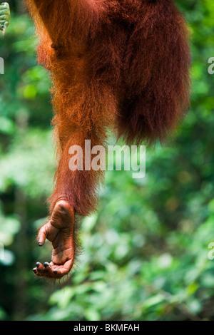 The leg of an orangutan (Pongo pygmaeus) hangs in mid-air. Semenngoh Wildlife Centre, Kuching, Sarawak, Borneo, - Stock Photo
