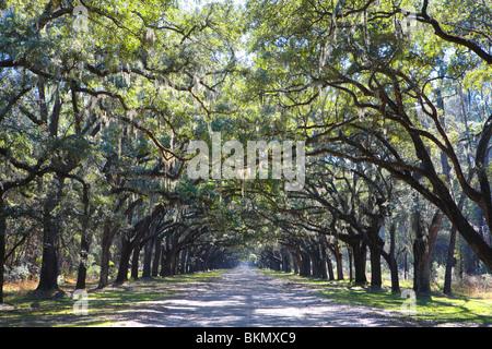 LIVE OAK TREE LINED ROAD AT WORMSLOE PLANTATION, NEAR THE CITY OF SAVANNAH, GEORGIA, USA - Stock Photo