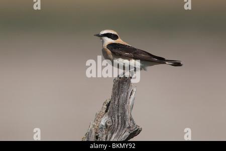 Black-eared wheatear, Oenanthe hispanica, single male perched on post, Southern Spain, April 2010 - Stock Photo
