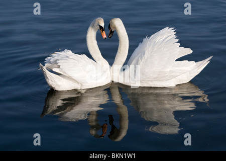 Swans Courting 1 - Stock Photo