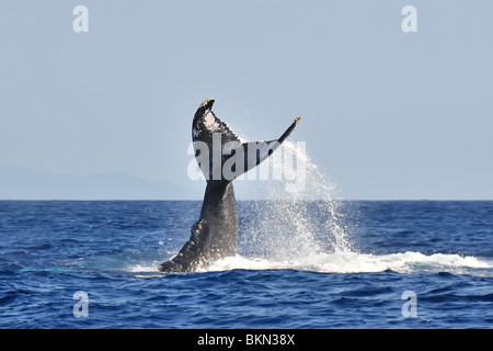 A humpback whale tail slaps in the waters off of Lahaina, Hawaii. - Stock Photo