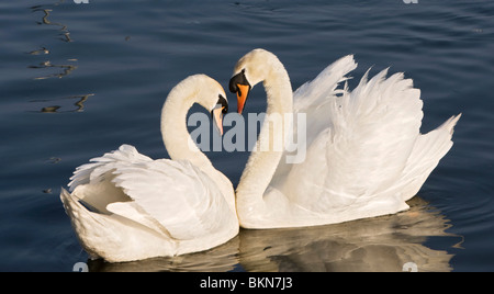 Swans Courting 3 - Stock Photo