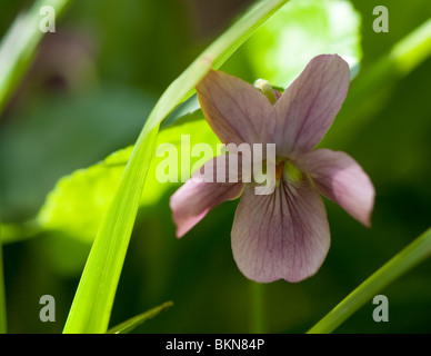 Dusky pink Sweet Violet, Viola odorata, in flower in spring - Stock Photo