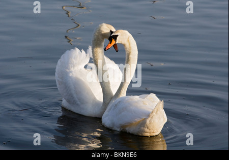 Swans Courting 2 - Stock Photo