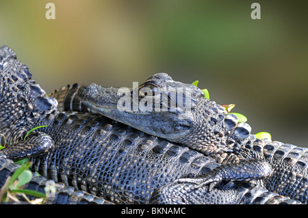 American Alligator: Alligator mississippiensis. Florida, USA. Young in nest - Stock Photo