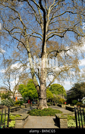 London plane tree Canonbury Square Islington London England UK - Stock Photo