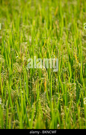 Close-up of ripened rice in the field - Stock Photo
