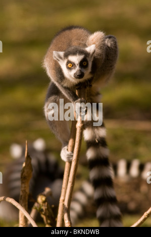 RING-TAILED LEMUR Lemur catta - Stock Photo