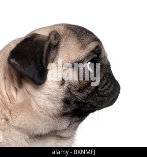 Profile view of a Pug, 7 months old, in front of white background - Stock Photo