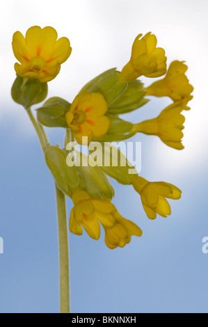 close up of a cowslip (primula veris) - Stock Photo