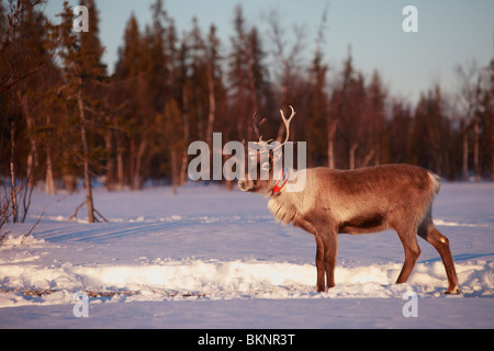 The annual Sami springtime reindeer migration from Stubba nr Gällivare in Sweden through their ancestral lands in - Stock Photo