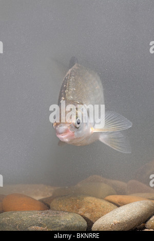 Vertikale foto van een Sneep zwemmend boven de stenen op de bodem;vertical photo of a  nase swimming above stones - Stock Photo