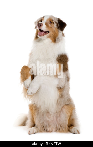 Australian Shepherd dog, 4 Years Old, standing on hind legs in front of white background - Stock Photo