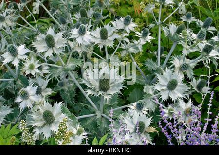 Close up of Eryngium giganteum - Stock Photo