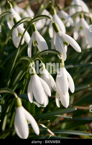 Snowdrops in the early evening sun, Wiltshire, England. - Stock Photo