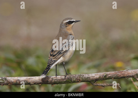 Tapuit mannetje in najaarskleed; Northern Wheatear male in autumn plumage - Stock Photo