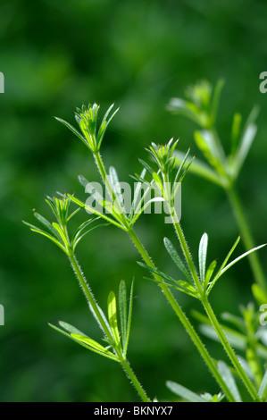 Common Cleavers, Galium aparine - Stock Photo