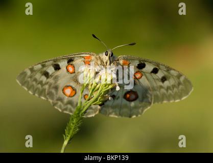 Apollovlinder, Parnassius apollo,Apollo - Stock Photo