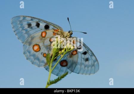 Apollovlinder, Parnassius apollo, Apollo - Stock Photo