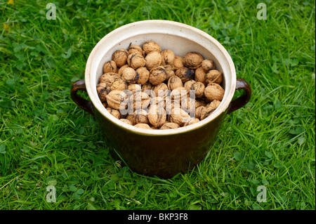 Harvested Walnuts in old crock - Stock Photo