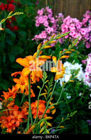 Close up of a Crocosmia 'Okavango' in a colourful flower border - Stock Photo