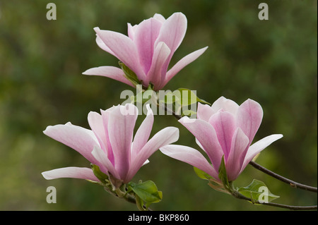Magnolia Heaven Scent, a deciduous magnolia - Stock Photo
