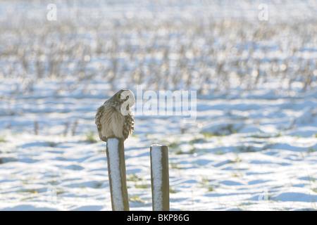 Velduil op besneeuwd paaltje in sneeuwlandschap, zijaanzicht; Short-eared Owl on snow covered wooden pole in snow - Stock Photo