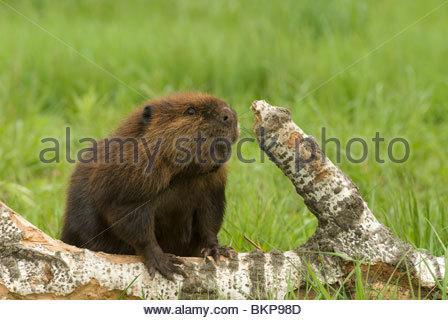 Beaver cutting - Stock Photo