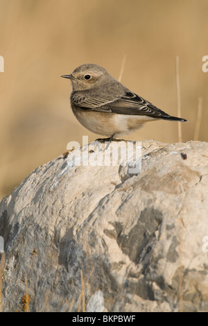 vrouwtje Bonte Tapuit uitkijkend vanaf een steen; female Pied Wheatear perched on a stone - Stock Photo