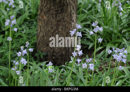 Spanish bluebells growing on Rector Place in Battery Park City. May 2, 2010 - Stock Photo