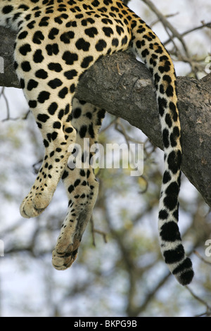 African Leopard, South Africa - Stock Photo