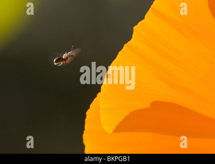 A flying insect about to pollinate a flower. This flower is a Mexican Poppy found in Arizona. - Stock Photo