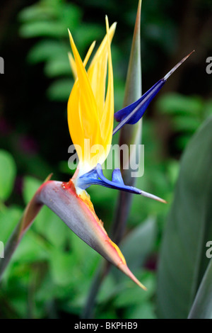 Crane flower, (Strelitzia reginae) in  Kirstenbosch National Botanical Gardens, Cape Town, South Africa. - Stock Photo