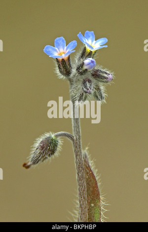 close up van bloeiwijze met knoppen (neergebogen), bloemen (omhoogstaand) en jonge vrucht (weer neergebogen) - Stock Photo