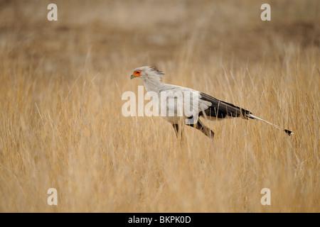 Secretarisvogel in zijaanzicht lopend door savannegras op zoek naar prooi, Secretarybird in sideview walking through - Stock Photo