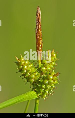 close up van bloeiwijze met mannelijk topaartje en daaronder vrouwelijke aartjes met jonge vruchten - Stock Photo