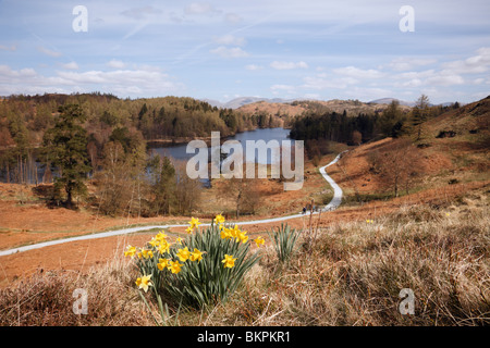Coniston, Cumbria, England, UK, Europe. Wild daffodils and view of Tarn Hows in the Lake District National Park in spring