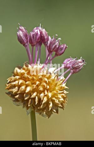 zijaanzicht close up van bloeiwijze met bolletjes en bloemen - Stock Photo